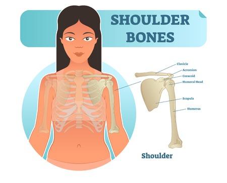 Labeled human shoulder bone anatomical vector illustration diagram poster. Medical health care information.