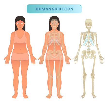 Modelo anatómico de esqueleto humano completo. Cartel de ilustración de vector médico con mujer.