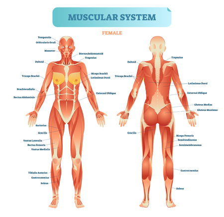 Female muscular system, full anatomical body diagram with muscle scheme, vector illustration educational poster. Ilustração