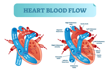 Heart blood flow anatomical diagram with atrium and ventricle system.
