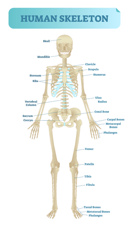 Full human skeleton anatomical model. Medical vector illustration poster, educational information.
