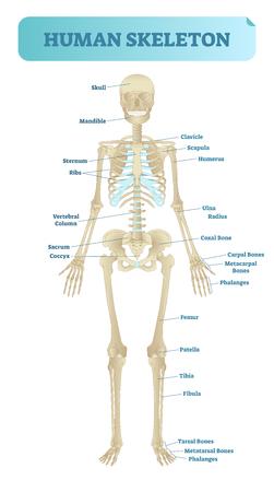 Full human skeleton anatomical model. Medical vector illustration poster, educational information.