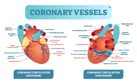 Coronary vessels anatomical health care vector illustration labeled diagram. Illustration