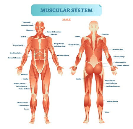Male muscular system, full anatomical body diagram with muscle scheme, vector illustration educational poster. Stock Illustratie