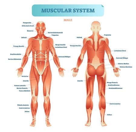 Mannelijk spierstelsel, volledig anatomisch lichaam diagram met spier regeling, vector illustratie educatieve poster. Vector Illustratie