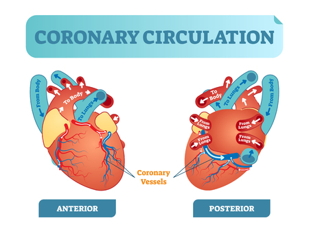 Coronary circulation anatomical cross section diagram, labeled vector illustration scheme.