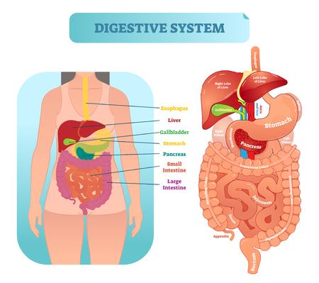 Diagrama de ilustración de vector anatómico médico del sistema digestivo humano con órganos internos. Paciente de sexo femenino. Cartel etiquetado de información médica. Ilustración de vector