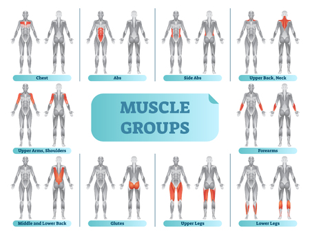 Female muscle groups anatomical fitness vector illustration, sports training informative chart.