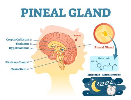 Diagrama de ilustración de vector de sección transversal anatómica de la glándula pineal con cerebros humanos. Cartel de información médica. Ilustración de vector