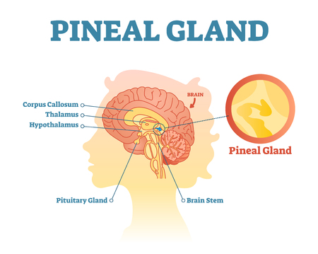 Pineal Gland Stock Photos. Royalty Free Pineal Gland Images