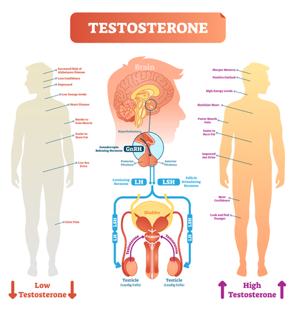 Testosterone anatomical and biological body diagram with brain and male reproductive organ cross sections. Medical vector illustration scheme. Body function labels on male silhouette.