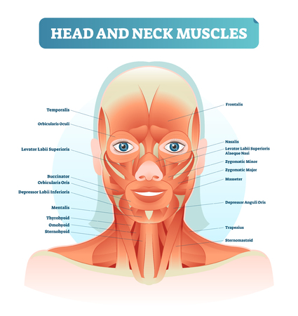 Head and neck muscles labeled anatomical diagram, facial vector illustration with female face, health care educational information poster. Fitness and beauty related.