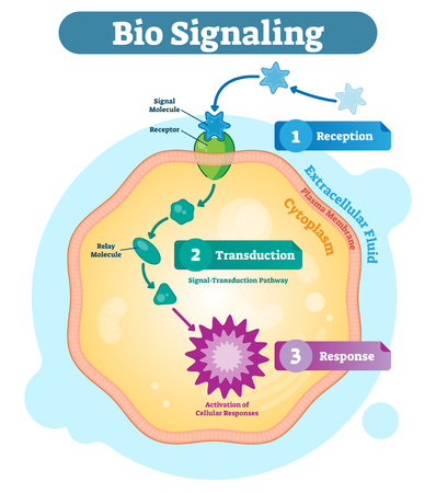 Bio signaling cell communication network system, micro biological anatomy labeled diagram vector illustration with receptor, transduction and response activity. Cell cross section scheme. Vettoriali