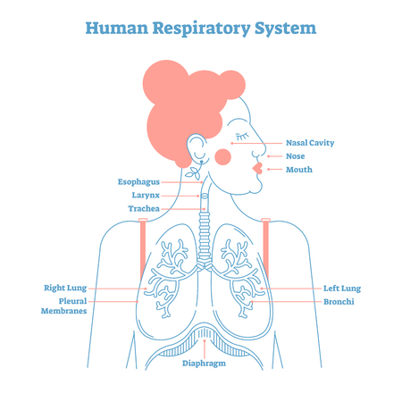 Human Respiratory System Anatomical Line Style Artistic Vector ...
