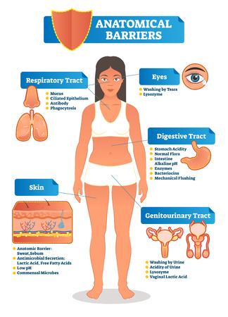 Ilustracja wektorowa z ludzkim schematem barier anatomicznych. Ciało kobiety z układu oddechowego, pokarmowego, moczowo-płciowego, oczu i skóry z bliska. Objaśnienie układu odpornościowego z diagramem.