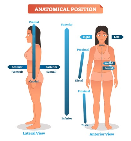 Ilustración de vector de posiciones anatómicas. Esquema de las localizaciones distal superior, inferior y proximal, así como de los lados posterior medial, lateral y anterior. Diagrama de cráneo y caudal humanos. Ilustración de vector