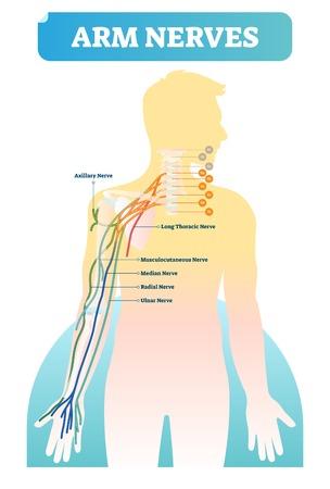 Ilustración de vector con nervios del brazo humano. Esquema anatómico con nervios axilar, torácico largo, musculocutáneo, mediano, radial y cubital. Vértebras con primeros planos C1-C8 y T1 y conceptos básicos de neurología.