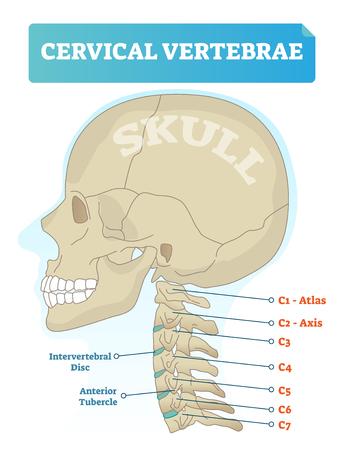 Illustration vectorielle des vertèbres cervicales. Schéma médical avec crâne en gros plan et atlas C1 isolé, axe C2, vertèbres C3, C4, C5, C6 et C7. Schéma du disque intervertébral et du tubercule antérieur. Vecteurs