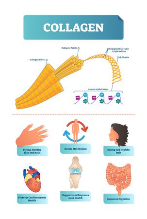 Illustrazione vettoriale sul collagene. Metabolismo e diagramma di salute cardiovascolare. Schema medico con fibre, fibrille, molecole, eliche, catene alfa e amminoacidi con visualizzazioni HYP e GLY