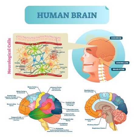 Brain vector illustration. Medical educational scheme with neurological cells closeup. Silhouette with cerebrum, cerebellum and stem. Cortex, lobe, respiratory, pituitary gland and wernickes diagram. Vector Illustration