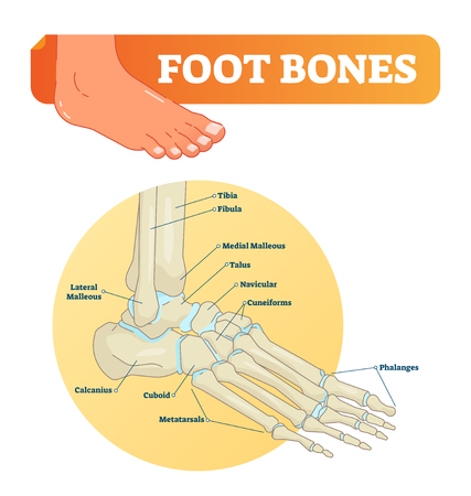 Foot bones vector illustration with icons. Medical diagram with tibia, fibula, malleous, talus and navicular. Educational scheme with labeled cuneiforms, cuboid, lateral, calcanius and phalanges.