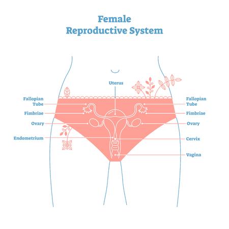 Cartel educativo del ejemplo del vector del sistema reproductor femenino del estilo artístico. Diagrama etiquetado de salud y medicina, sección transversal de órgano femenino con útero, ovario, cuello uterino y vagina.