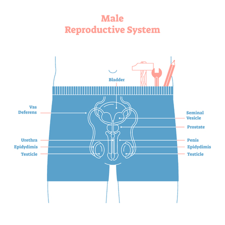 Artistic style male reproductive system vector illustration educational poster. Health and medicine labeled diagram,male sexual organ cross section with bladder,penis and testicles
