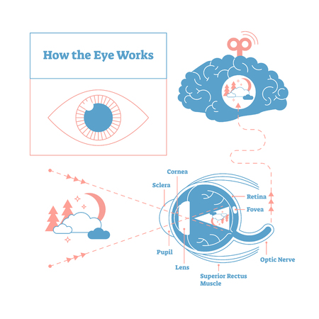 How the eye works medical scheme poster, elegant and minimal vector illustration, eye - brain labeled structure diagram. Stylized and artistic medical design poster.Health care educational infographic Illustration