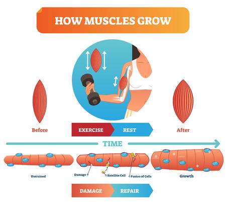 Illustrazione vettoriale su come crescono i muscoli. Diagramma educativo medico e anatomico con prima dell'esercizio e dopo. Schema con danno, cellula satellite, fusione di cellule e crescita. Nozioni di base sulla forma fisica. Vettoriali
