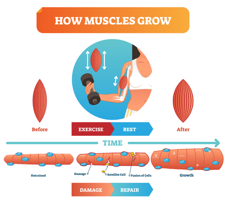 Vector illustration about how muscles grow. Medical and anatomical educational diagram with before exercise and after. Scheme with damage, satellite cell, fusion of cells and growth. Fitness basics.  イラスト・ベクター素材