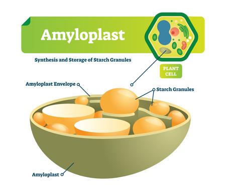 Illustration vectorielle d'amyloplaste. Schéma de gros plan médical étiqueté avec synthèse et stockage de granules d'amidon. Diagramme coloré avec enveloppe et cellule végétale. Structure cellulaire microscopique avec organite.