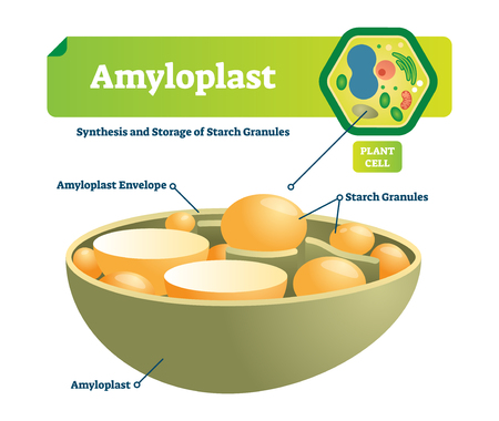 Amyloplast vector illustration. Labeled medical closeup scheme with synhesis and storage of starch granules. Colorful diagram with envelope and plant cell. Microscopic cell structure with organelle.