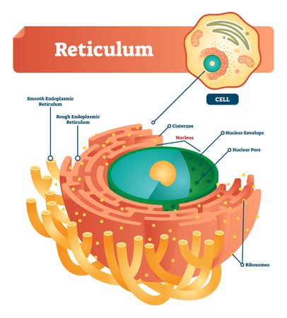Reticulum labeled vector illustration scheme. Anatomical diagram with smooth and rough endoplasmic reticulum. Closeup with cisternae, nucleus, ribosomes, nuclear envelope pore and anatomical structure Ilustração
