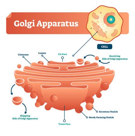 Ilustración de vector de aparato de Golgi. Esquema microscópico etiquetado con cisternas, lumen, cara cis o trans, célula, vesícula secretora y recién formada. Diagrama de detalle con lado de recepción y envío. Ilustración de vector
