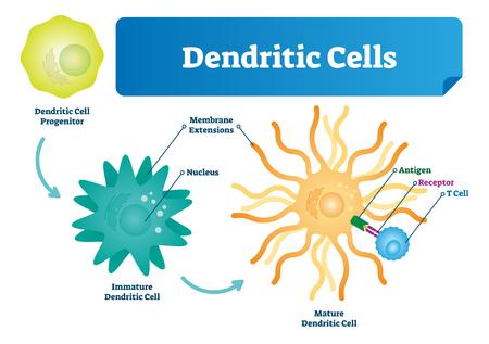 Ilustración de vector de células dendríticas. Esquema etiquetado anatómico con progenitor, inmaduro, núcleo y extensiones de membrana. Diagrama de antígeno y receptor. Primer microscópico con estructura biológica.