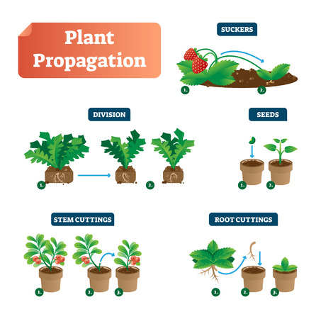 Plant propagation vector illustration diagram. Scheme with labels on suckers, division, seeds, stem and root cuttings. Biology, gardening and sprouts cultivation classic. Flower spores, and leaves. Vettoriali