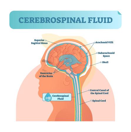 Illustrazione di vettore del liquido cerebrospinale. Schema etichettato anatomico con testa umana e interno del cranio. Schema con seno sigittale superiore, ventricoli, villi aracnoidei e canale centrale del midollo spinale.