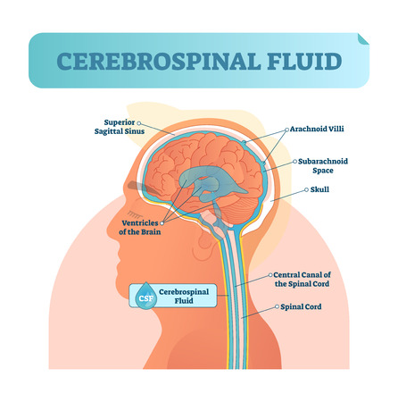 Cerebrospinal fluid vector illustration. Anatomical labeled scheme with human head and inside of skull. Diagram with superior sigittal sinus, ventricles, arachnoid Villi and spinal cord central canal.