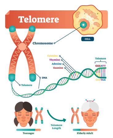 Ilustracja wektorowa telomeru. Schemat edukacyjny i medyczny z komórką, chromosomem i DNA. Oznaczony diagram z cytozyną, tyminą, adeniną i guaniną. Długość nastolatka w porównaniu ze starszym dorosłym.