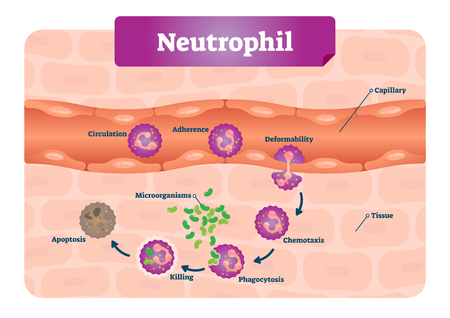 Neutrophil vector illustration. Medical educational scheme with labeled capillary, circulation, adherence, deformability, chemotaxis and phagocytosis. Apoptosis and microorganisms icroscopic closeup. Vector Illustration