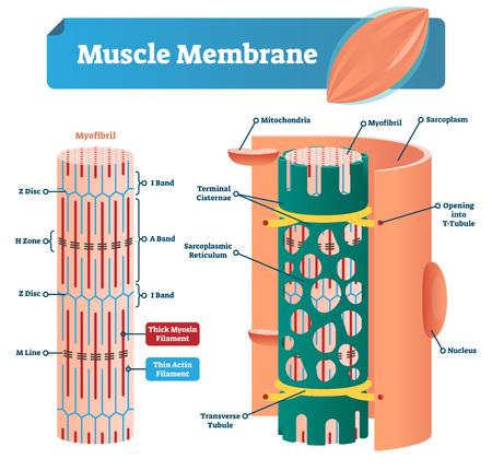 Illustration vectorielle de membrane musculaire. Schéma étiqueté avec myofibrille, disque, zone, ligne et bande. Schéma anatomique et médical avec mitochondries, sarcoplasme, réticulum, tubule transverse et noyau.