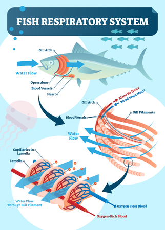 Fish respiratory system vector illustration. Labeled anatomical scheme with gill arch, operculum, blood vessels and heart. Colorful diagram with capillaries in lamella and rich of poor blood oxygen.