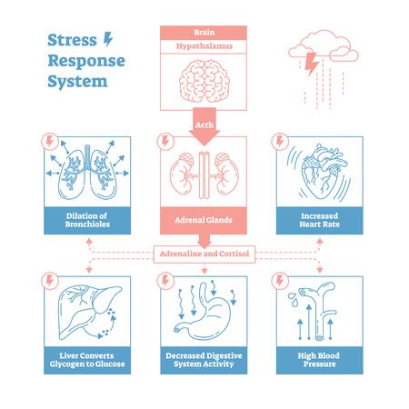 Stress response biological system vector illustration diagram,anatomical nerve impulses scheme with brain, adrenal glands, heart rate, blood pressure, breathing and other processes.Outline design.