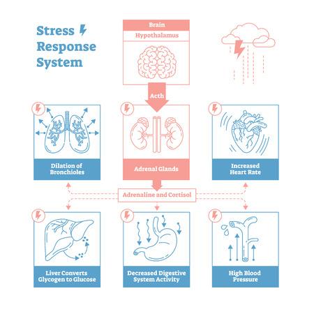Diagramme d'illustration vectorielle de système biologique de réponse au stress, schéma d'influx nerveux anatomique avec cerveau, glandes surrénales, fréquence cardiaque, pression artérielle, respiration et autres processus.
