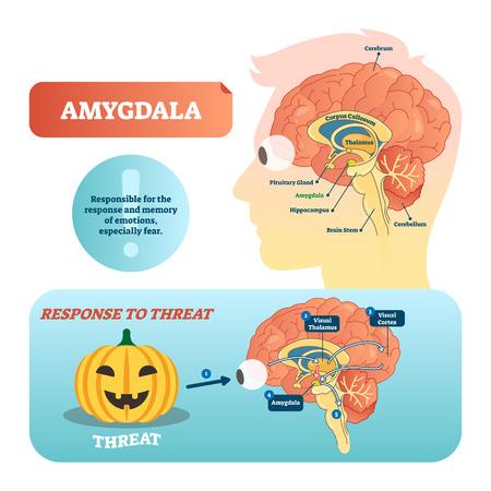 Ilustración de vector etiquetado médico de amígdala. Esquema anatómico con tálamo visual, corteza y respuesta a la amenaza. Diagrama con cerebro, tálamo y cuerpo calloso.