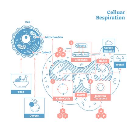 Die Zellatmung ist eine Reihe von Stoffwechselprozessen, die in den Zellen von Organismen stattfinden, um biochemische Energie aus Nährstoffen in Adenosintriphosphat (ATP) umzuwandeln und Abfallprodukte freizusetzen
