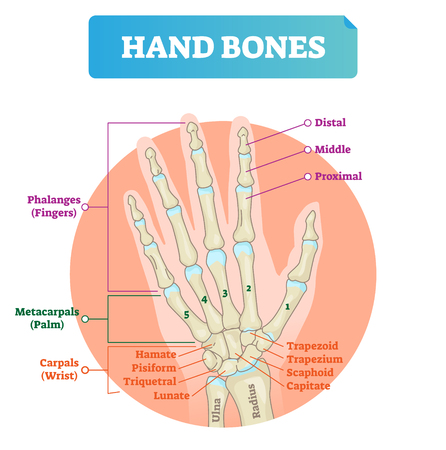 Hand bones vector illustration. Labeled educational human arm structure with phalanges, metacarpals, hamate, pisiform, triquetral and lunate. Palm finger parts scheme.