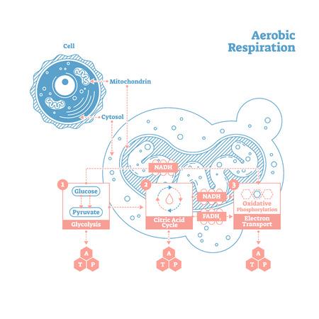 Diagrama de ilustración de vector bio anatómico de respiración aeróbica, esquema médico educativo etiquetado. Cartel de dibujo de estilo de contorno limpio. Información científica presentable de cerca el diseño de la sección transversal.