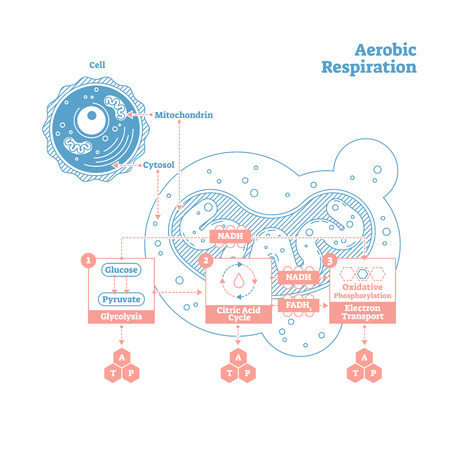 Aerobic Respiration bio anatomical vector illustration diagram, labeled educational medical scheme. Clean outline style drawing poster. Presentable scientific information close up cross section design