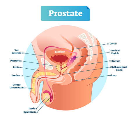 Prostate labeled vector illustration. Educational male anatomy scheme with vas deferens, penis, urethra, cavernosum, testis and epidydimis. Diagram with ureter and rectum